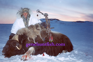 Bow hunting muskox