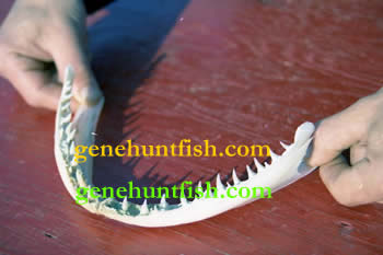 Huge Lake Trout Jaw