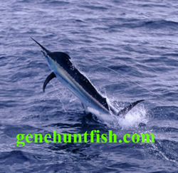 Marlin Picture-3