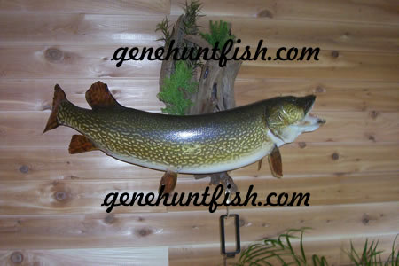 Genos Northern    Pike